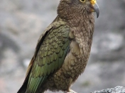 Kea, una demostración de la inteligencia animal