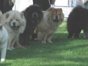 Chow Chow [can]