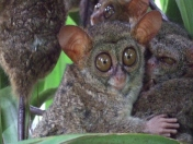 Tarsero fantasma (Tarsius tarsier) Fauna (animales) Video