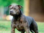 Staffordshire bull terrier blue Argentina